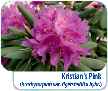Kristian's Pink