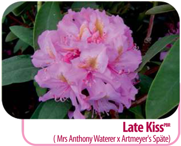 Late Kiss (Mrs Anthony Waterer x Artmeyer's Späte)