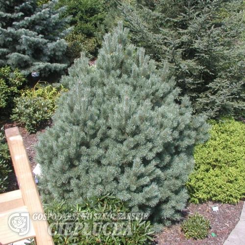 pinus sylvestris watereri scotch 39 s pine pinus sylvestris watereri. Black Bedroom Furniture Sets. Home Design Ideas
