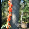 Lycium barbarum 'Korean Big' - Goji berry - Lycium barbarum 'Korean Big'