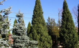 Picea abies 'Cupressina' - Norway spruce - Picea abies 'Cupressina'