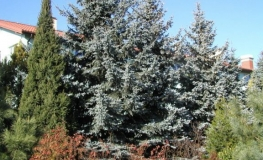 Picea pungens 'Hoopsii' - Blue Spruce - Picea pungens 'Hoopsii'