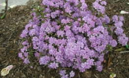 Amethyst - Rhododendron impeditum ; Rhododendron Dwarf Hybrids - Amethyst - Rhododendron impeditum