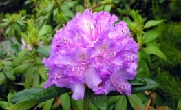 Alfred - Rhododendron hybrid - Alfred - Rhododendron hybridum