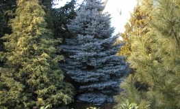 Picea pungens 'Glauca Compacta' - Blue Spruce - Picea pungens 'Glauca Compacta'