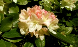 Lachsgold - Rhododendron hybrid - Lachsgold - Rhododendron hybridum