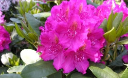 Pearce's American Beauty - Rhododendron hybrid - Pearce's American Beauty - Rhododendron hybridum