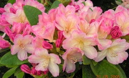 Percy Wiseman - Rhododendron yakushimanum - Percy Wiseman - Rhododendron yakushimanum