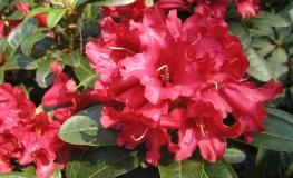Bengal - Rhododendron repens - Bengal - Rhododendron repens