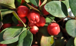 Gaultheria procumbens - Eastern teaberry, Checkerberry, Boxberry - Gaultheria procumbens