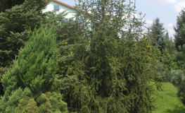 Picea abies 'Cranstonii' - Norway spruce - Picea abies 'Cranstonii'