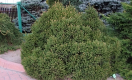 Picea abies 'Pygmaea' - Dwarf Norway Spruce - Picea abies 'Pygmaea'