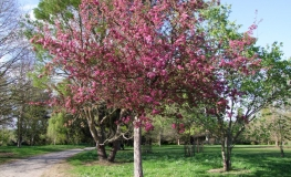 Malus 'Royalty' -  Crabapple ; ornamental apple - Malus 'Royalty'
