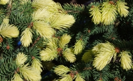 Picea pungens 'Maigold' - Blue spruce - Picea pungens 'Maigold'