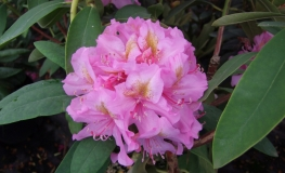 Late Kiss - Rhododendron hybrids - Late Kiss - Rhododendron hybridum