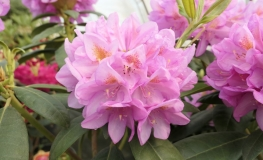 Becca  - Rhododendron hybrids - Becca - Rhododendron hybridum