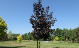 Acer platanoides 'Royal Red' - Norway maple - Acer platanoides 'Royal Red'