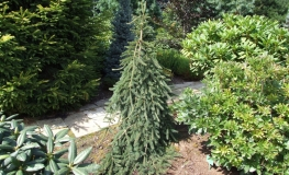 Picea abies 'Frohburg' - Norway spruce - Picea abies 'Frohburg'