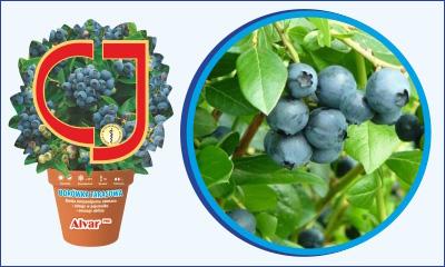 Half High Blueberry ...