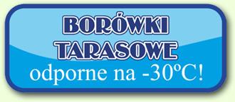Borówki tarasowe